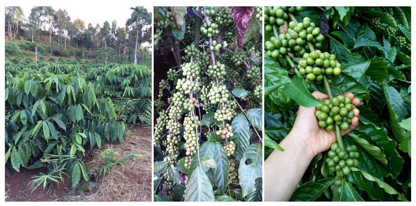 Cà phê dây Thuận An