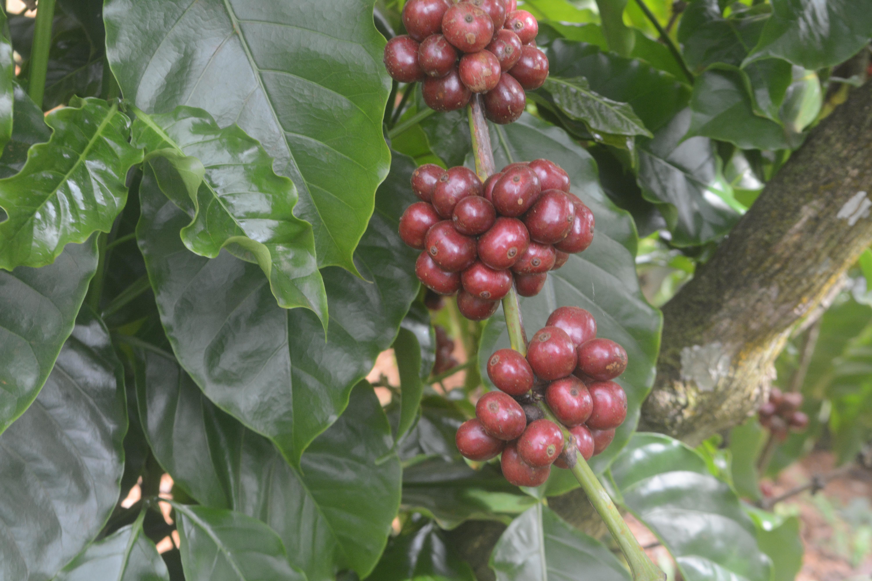 Cà phê TRS1